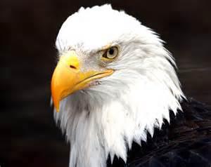 Bald Eagle Endangered Animals
