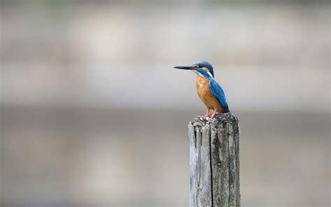 hd kingfisher bird wallpapers hdwallsourcecom