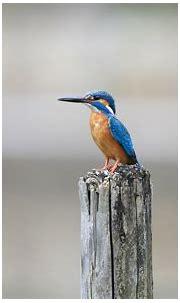 14 HD Kingfisher Bird Wallpapers - HDWallSource.com