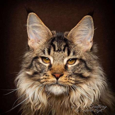 majestic pictures  maine coon cats  robert sijka
