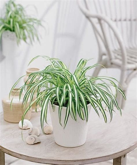 Houseplants provide a buffer from stale indoor living and brighten up our homes. 21 Best Coffee Table Plants To Grow Indoors | House plants indoor, Spider plant care, Growing ...