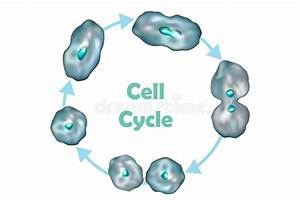 Wiring Database 2020  29 Cell Cycle Division  Mitosis