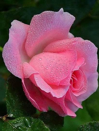 Rose Flowers Yellowrose543 Wet Wallpapers Natural