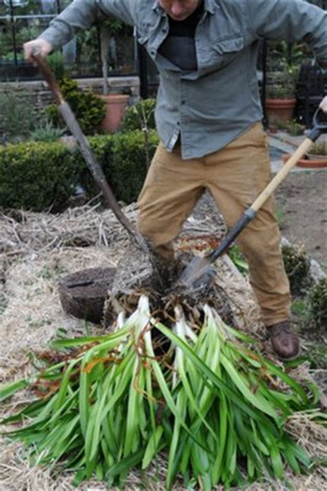 how to divide agapanthus plants how to grow agapanthus from seed the garden of eaden