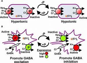 Sites Of Regulated Phosphorylation That Control K