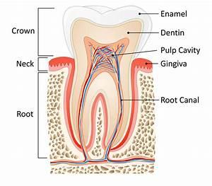 Simple Diagram Of The Teeth