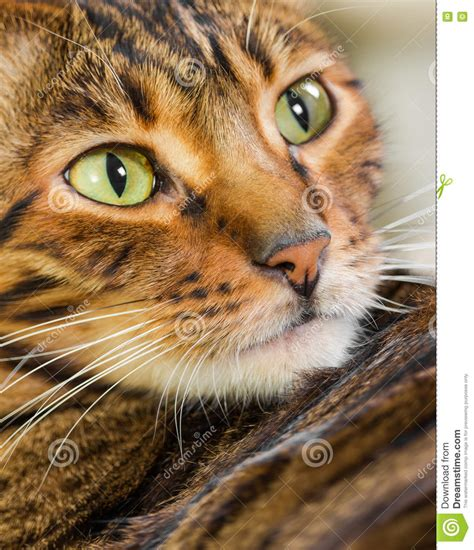 Cat Breed Toyger Eating Dry Food From A Bowl. Isolated On ...