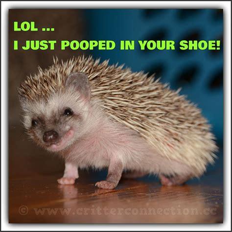 Hedgehog Meme - hedgie hedgehog meme lol millermeade funny adorable cute www critterconnection cc