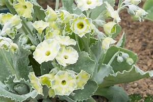 Schmucklilie überwintern Gelbe Blätter : primel pflanzen pflegen gie en und mehr ~ Eleganceandgraceweddings.com Haus und Dekorationen