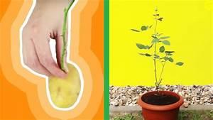 Rose In Kartoffel Anpflanzen : du steckst eine rose in eine kartoffel und pflanzt sie ein ~ Lizthompson.info Haus und Dekorationen