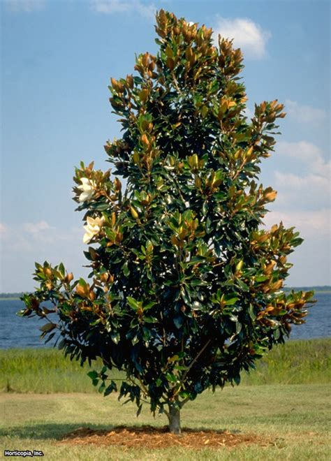 magnoloa tree southern magnolia magnolia grandiflora little gem max height about 25 feet in stock at