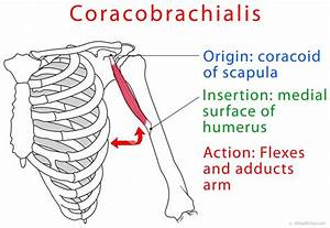 Coracobrachialis Muscle Function, Strength Test, Pain ...