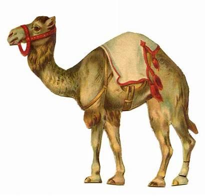 Circus Camel Graphic Animal Graphics Animals Poster