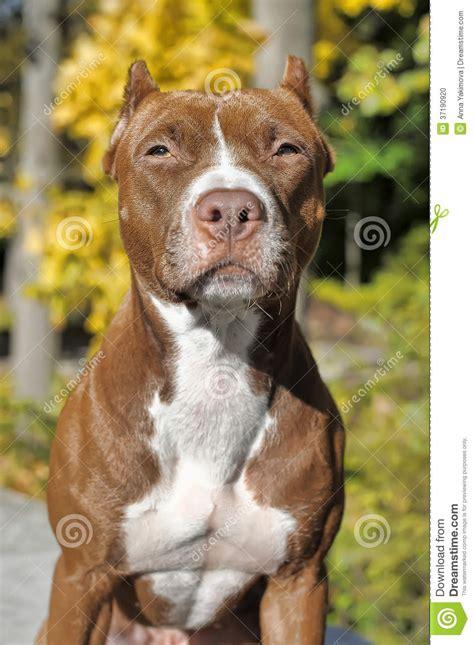 Brun pitbull arkivfoto. Bild av medf8ort, angus - 37190920