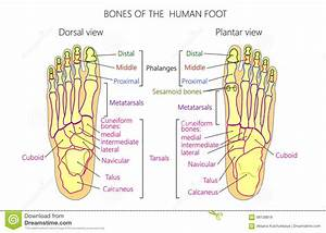 Anatomy Bones Of The Human Foot Dorsal And Plantar View