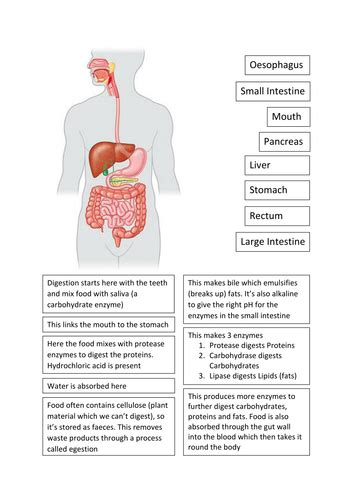 ks digestive system cut  stick teaching resources
