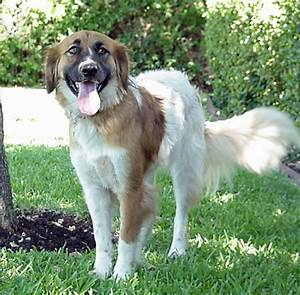 border collie english springer spaniel mix image search ...
