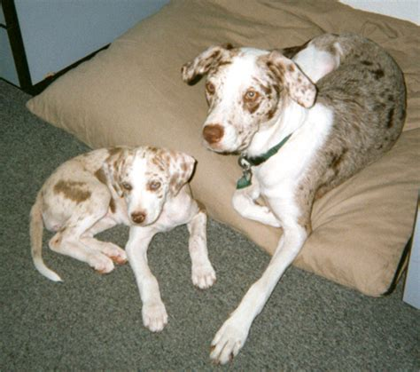 catahoula dogs cur coat dog colors patterns merle leopard hound breed puppy spots guessing possibilities again