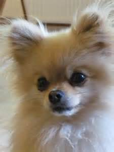 1000 images about pomchi on pomeranians chihuahuas and pomeranian dogs