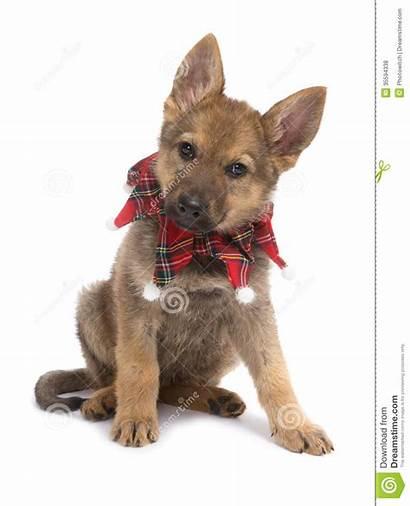 Shepherd German Christmas Puppy Nine Collar Captions