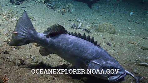 grouper shark eating