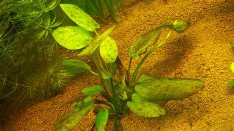 plante croissance rapide aquarium plante croissance rapide aquarium 100 images quelle plante pour un beau gazon dans aquarium