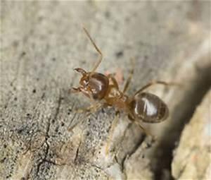 Ameisen Im Haus Ursache : ameisenarten erkennen rentokil sch dlingsbek mpfung ~ A.2002-acura-tl-radio.info Haus und Dekorationen