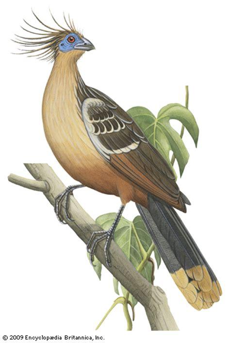 hoatzin bird britannicacom
