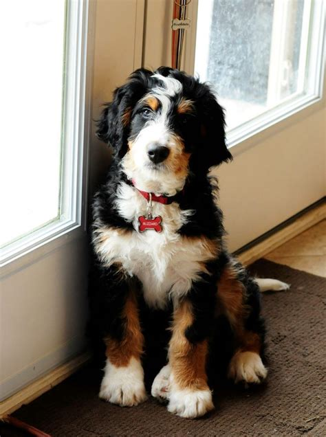 mixed breed dogs that don t shed 75 best bernedoodle images on goldendoodles