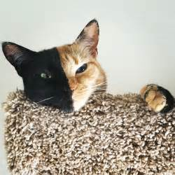 venus the two faced cat meet venus a cat with two faces bored panda
