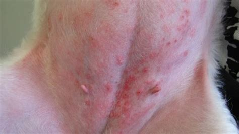 dog heat rash  belly  pictures treatment