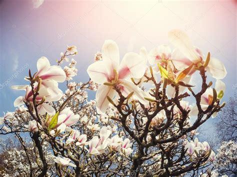 Magnolia de flores de Primavera rosa hermosa en una rama
