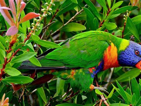 beautiful multicolor parrot exotic birds wallpaper hd