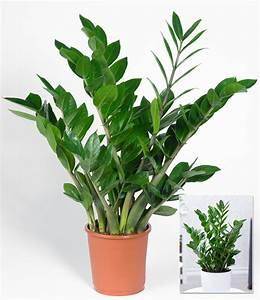 Pflanzen Zur Luftbefeuchtung : zamioculcas 1a zimmerpflanzen online kaufen baldur garten ~ Sanjose-hotels-ca.com Haus und Dekorationen