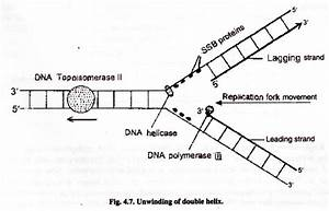 Dna Replication  With Diagram