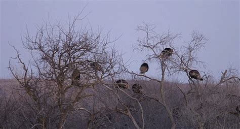 find  perfect turkey roosts