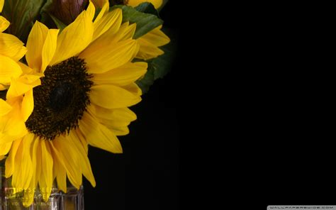 sunflower desktop wallpapers  background pictures
