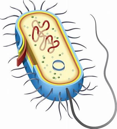 Cell Bacterial Diagram Bacteria Dna Celula Bacteriana
