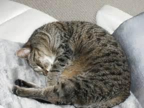 sleeping cat w o k a r e l l a sleeping cat