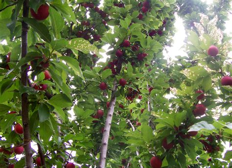 picture of plum tree file plum tree with fruit jpg wikipedia
