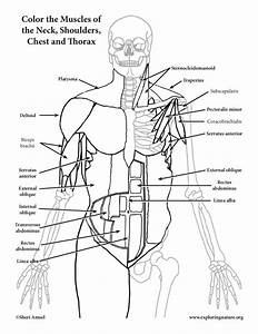 Muscles Of The Neck  Chest And Thorax Coloring Page
