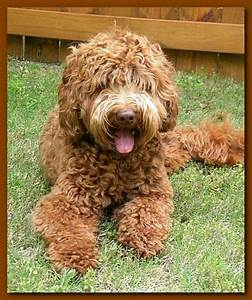 Caramel Labradoodle Puppies | www.imgkid.com - The Image ...