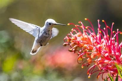 Hummingbird Frozen Rare