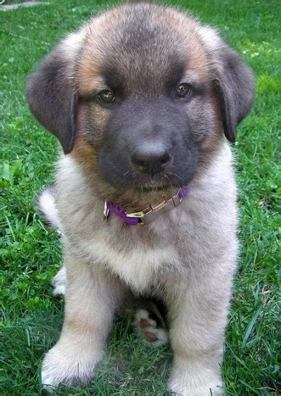adorable german shepherd mixes top   class