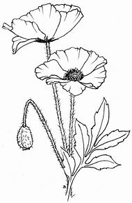 Best Poppy Drawing Ideas And Images On Bing Find What Youll Love