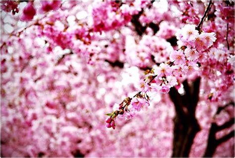Wallpaper Bunga Sakura Untuk Laptop Wallpaperscraft
