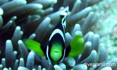 saddleback anemonefish amphiprion polymnus lhi