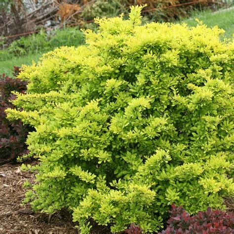 bright bush for landscaping proven winners sunjoy citrus barberry berberis live shrub bright gold foliage 3 gal