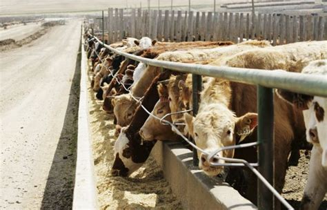 live feeder cattle prices u s livestock bearish usda report rattles cme live