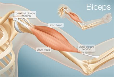 diagnosis  long head  biceps pathology